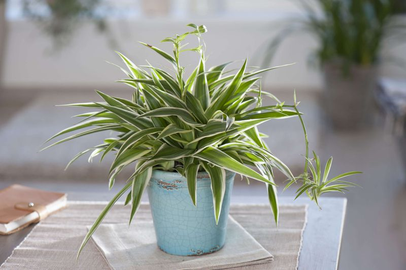 A small spider plant in a blue pot sitting on the corner of a table.