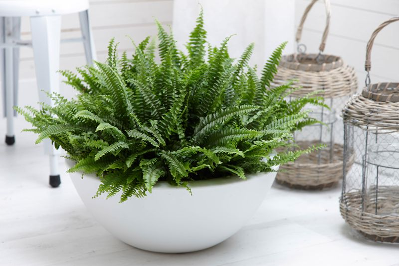 A Boston Fern sits on the floor in a white rounded planter.