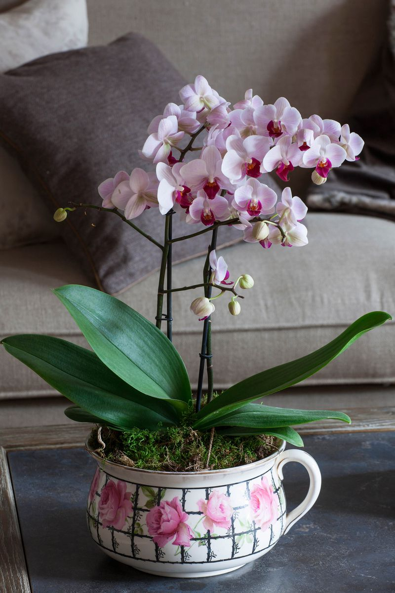 An orchid with many pink blooms sits on a coffee table.